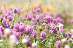 Flowering red clover Stock Images