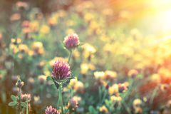 Flowering red clover in late afternoon Stock Images
