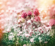 Flowering red clover in meadow Stock Images