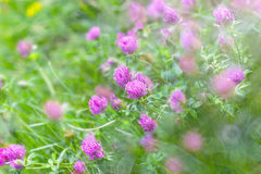 Flowering red clover Royalty Free Stock Photos