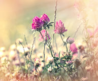 Flowering of red clover in meadow Stock Images