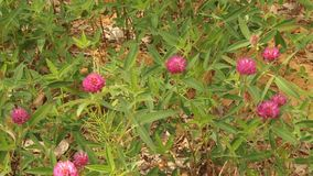 Flowering of red clover in the wild. stock footage