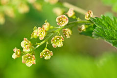 Flowering red currant Royalty Free Stock Photos