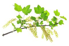Flowering red currant Royalty Free Stock Photo