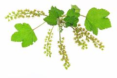 Flowering red currant Royalty Free Stock Images