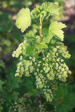 Flowering red currant. One a spring of red currants with several floral brushes Royalty Free Stock Photos