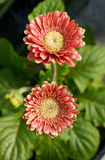 Flowering red Gerbera daisies Stock Images