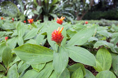 Flowering Red Ginger Plant Royalty Free Stock Image