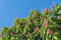 Flowering red horse-chestnut tree  against a blue sky. Closeup of a blossoming red horse-chestnut tree on sunny day with a blue sky in springtime Royalty Free Stock Images