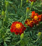 Flowering red marigolds and buds closeup n the garden. royalty free stock photography