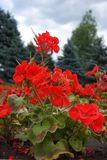 Flowering red pelargonium against the sky. Flowering red zonal pelargonium against the sky Royalty Free Stock Photos