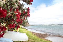 Flowering red Pohutukawa is known as the New Zealand Christmas t. Ree, flowers in summer at beach and coast. Photographed in Russell, Bay of Islands, Far North stock photos