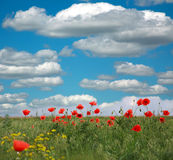 Flowering red poppies on background of white clouds and blue sky Royalty Free Stock Photography