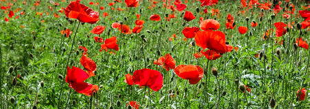 Flowering red poppies field Royalty Free Stock Image