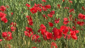 Flowering red poppies in the field stock video