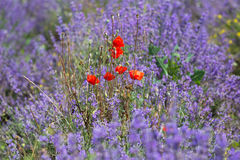 Flowering red poppies royalty free stock images