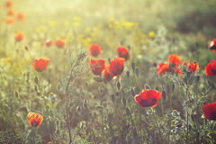 Flowering red poppies under the light of setting sun Stock Photos