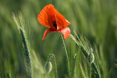 Flowering red poppy close-up among cereals Royalty Free Stock Photos