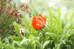 Flowering of red poppy in garden Stock Images