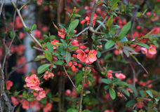 Flowering red quince shrub. Flowering ornamental shrubs red quince Royalty Free Stock Image