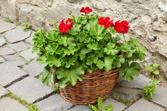 Red Geraniums Flowers, Pelargonium peltatum royalty free stock photography