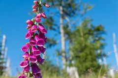 Flowering red thimble on the mountain of Rachel in the Bavarian Forest, Germany Royalty Free Stock Photography