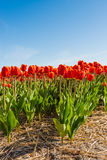 Flowering red tulip bulbs Stock Photography