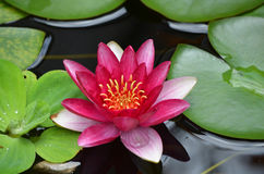 Flowering Red Water Lily with Lily Pads. Pretty red water lily in a water garden flowering Stock Images