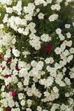 Flowering red and white petunias. Blooming red and white petunias on a flower bed background Stock Photo