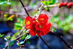 Flowering red wild Japanese quince Stock Image