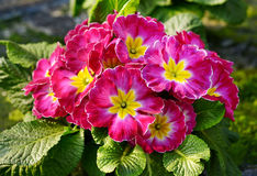 Flowering red and yellow bicolor primrose Stock Images