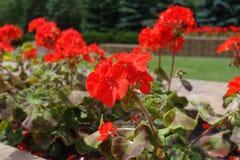 Flowering red zonal pelargoniums in flowerbed. Flowering red zonal pelargoniums in the flowerbed Stock Photos