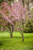 Flowering Redbud and Dogwood Trees Royalty Free Stock Photo