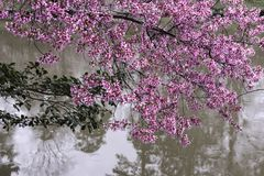 Flowering redbud. Tree against white wall royalty free stock images