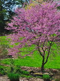 Flowering Redbud Tree (Cercis canadensis) Stock Image