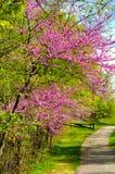 Flowering redbuds stock image