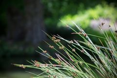 Flowering Reeds at the Pond in Sonoma, California. Landscape photo taken at a pond in Sonoma, California, of flowering reeds on a sunny day royalty free stock image