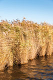 Flowering reeds waving in the wind Stock Photo