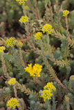 Flowering Reflexed Stonecrop Stock Image