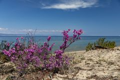 Shore of lake Baikal, flowering rhododendron royalty free stock image