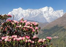 Flowering rhododendron tree, springtime in himalaya Stock Photography