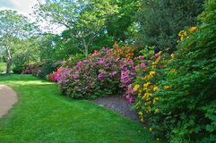 Flowering rhododendrons. Gorgeous Rhododendrons and azaleas blooms in full blossom in spring Stock Photography