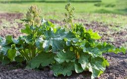 Flowering rhubarb in vegetable garden Stock Image