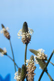 Flowering ribwort plantains against blue sky royalty free stock images