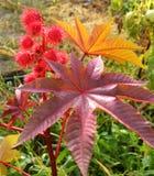 Ricinus communis. Flowering ricinus communis. Red round original flowers. Carved purple leaves stock photography