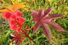 Ricinus communis. Flowering ricinus communis. Red round original flowers. Carved purple leaves royalty free stock images