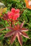 Ricinus communis. Flowering ricinus communis. Red round original flowers. Carved purple leaves stock image