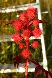 Ricinus communis. Flowering ricinus communis. Red round original flowers. Carved purple leaves royalty free stock photography