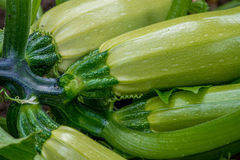 Flowering and ripe fruits of zucchini in vegetable garden Royalty Free Stock Photography