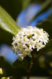 Flowering River Mangrove Stock Image